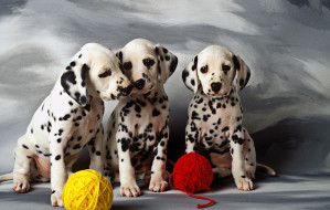 three-dalmatian-puppies-garry-gay