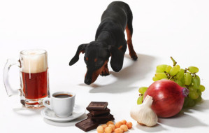 getty_rm_photo_of_dachshund_and_toxic_foods