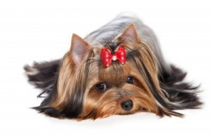 14894134-yorkshire-terrier-dog-on-white-background