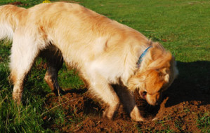102212-dog-digging-outside-in-grass-545x250
