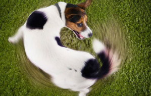 corbis_rf_photo_of_dog_chasing_tail-1